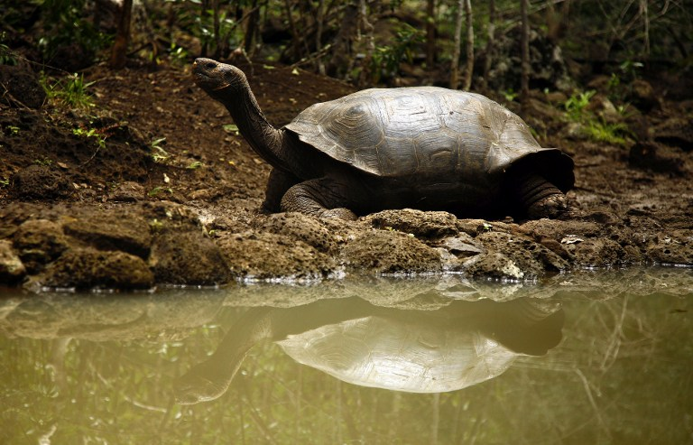 GENTLE GIANT A Galapagos giant turtle (Geochelone nigra) remains in the shore of a small artificial lake, in San Cristobal island, Galapagos Archipelago, on September 1, 2009. Photo by AFP/Pablo Cozzaglio