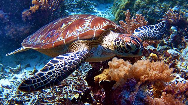 WILDLIFE WONDERS. The endangered green sea turtle Chelonia mydas is among the wildlife wonders beneath Tubbatahau2019s waters. Photo by Lory Tan/WWF