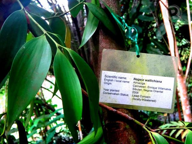 Almaciga, a tree species that lived during the dinosaur era