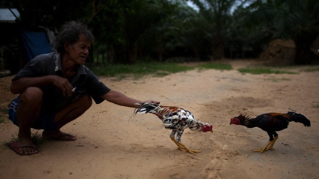 FILIPINOS IN SABAH. A villager lets his cocks fight in Tanjung Labian in the area where the suspected Philippine militants are holding off near Lahad Datu on the Malaysian island of Borneo, on February 17, 2013. AFP PHOTO / MOHD RASFAN