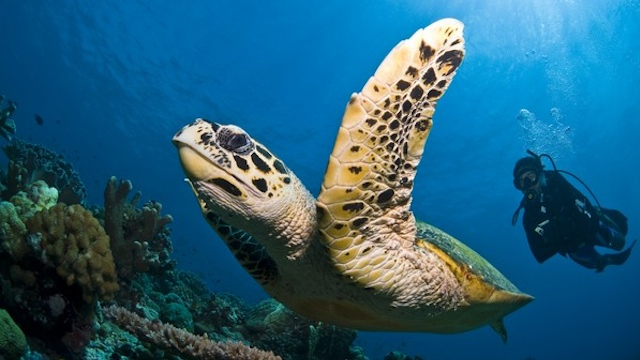 DIVING PARADISE. Tubbataha is a UNESCO World Heritage site since 1993 and considered a paradise for scuba diving. From from the Tubbataha Reefs Natural Park official website