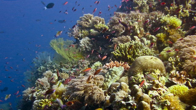 PRISTINE REEFS. The coral reefs of Tubbataha are healthy and free from parasites such as the nasty crown-of-thorns starfish that eats polyps, the live organisms that make up the coral. Photo by Lory Tan/WWF