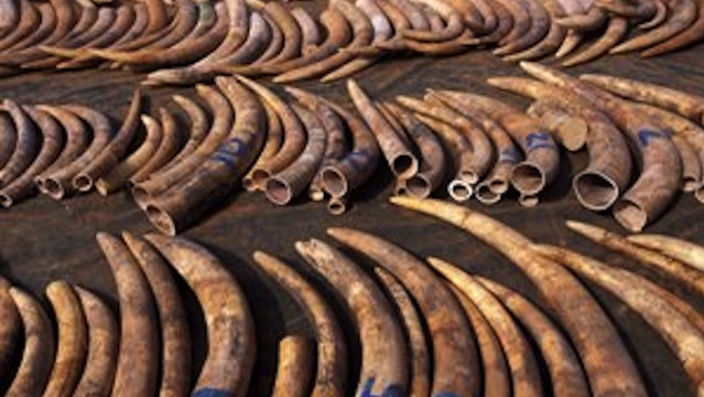 ILLEGAL. A coalition of 29 African countries is pressing for a total halt to the ivory trade to curb poaching of elephants, but other delegates believe it would only fuel illegal trading. File photo courtesy of CITES