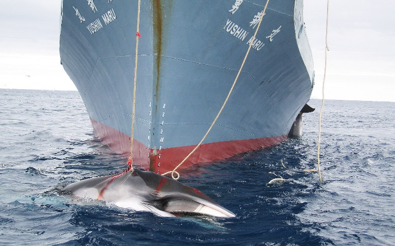 This undated handout photo released by the Australian Customs Service on February 7, 2008 shows a whale (front) and another (partly seen at right) being dragged on board a Japanese ship after being harpooned in Antarctic waters. Australian Customs Service/AFP